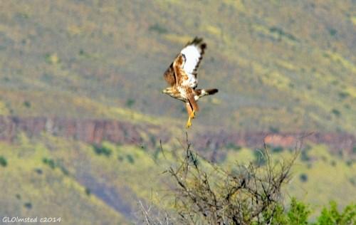Steppe Buzzard Karoo National Park South Africa