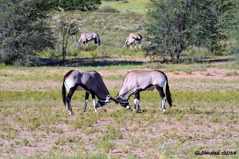 Gemsbok Kalagadi Transfrontier Park South Africa