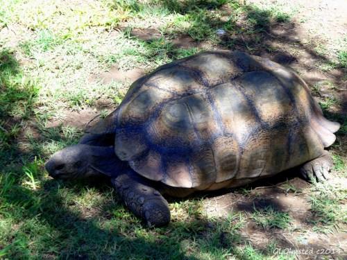 Leopard tortoise Karoo National Park South Africa