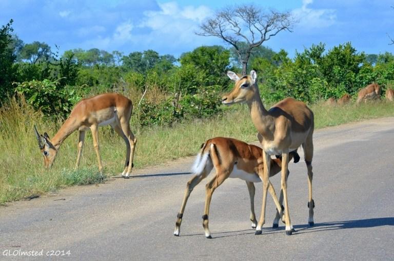 Impala suckling Kruger National Park South Africa