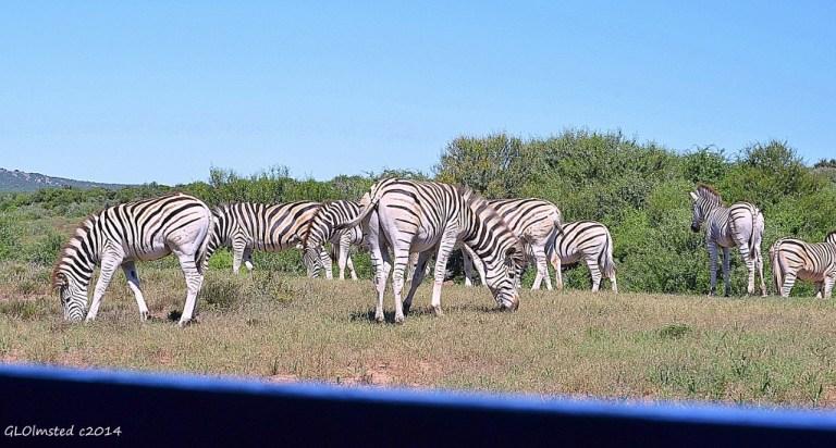 Zebras from underground bird hide Addo Elephant National Park South Africa