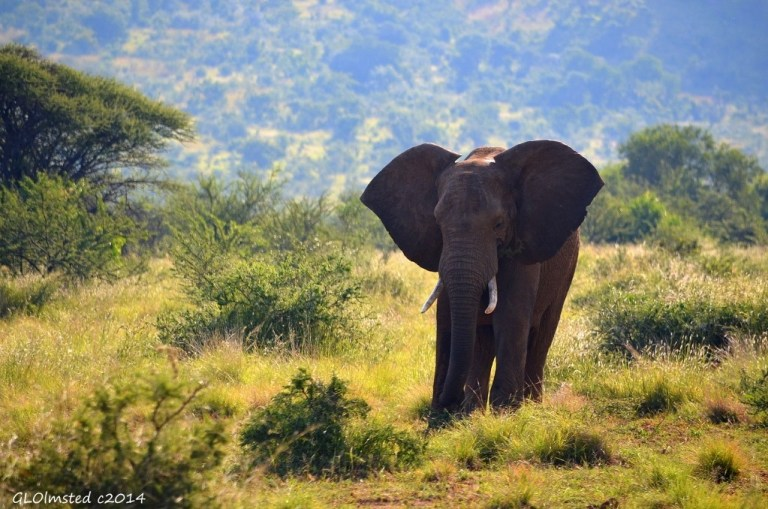 Elephant Pilanesberg Game Reserve South Africa