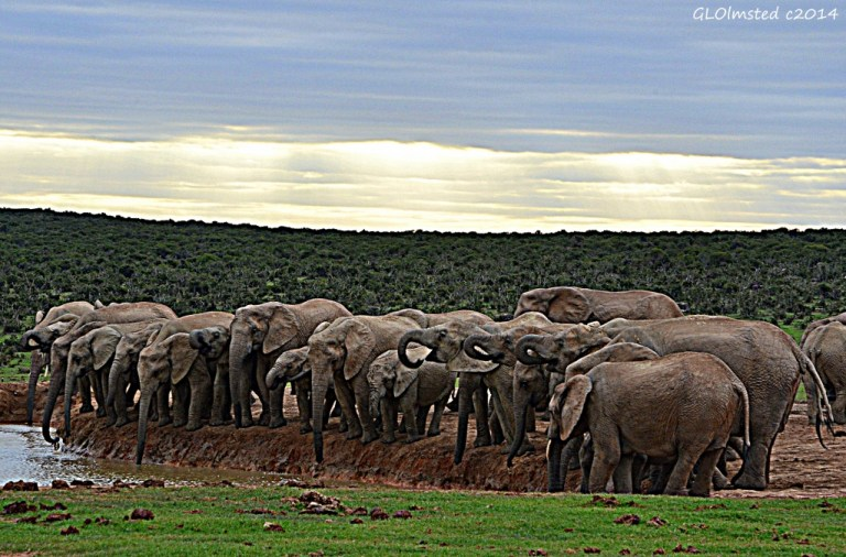Elephants at the dam Addo Elephant National Park South Africa