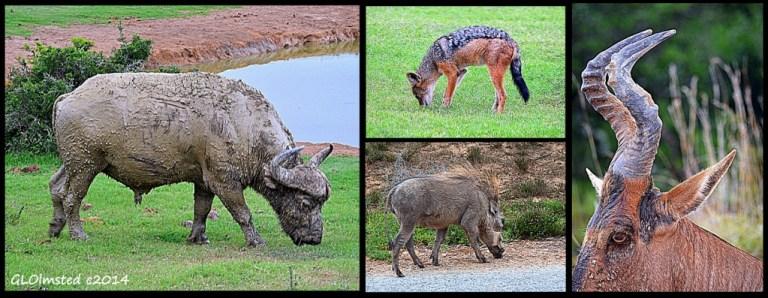 Buffalo, black-backed jackal, red hartebeest & warhog Addo Elephant National Park South Africa