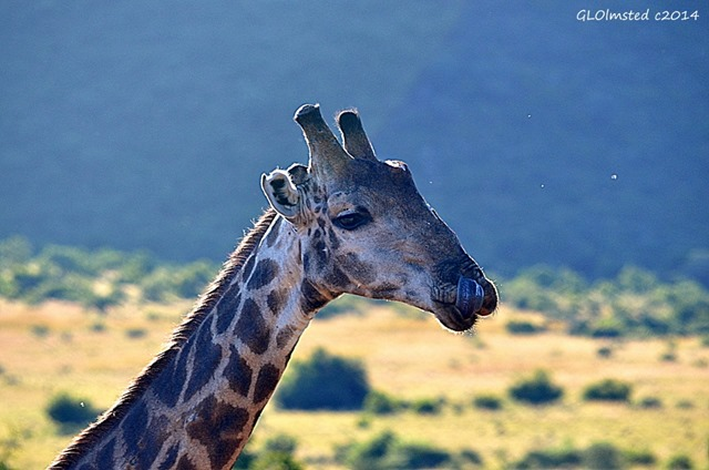 Giraffe Pilanesberg Game Reserve South Africa