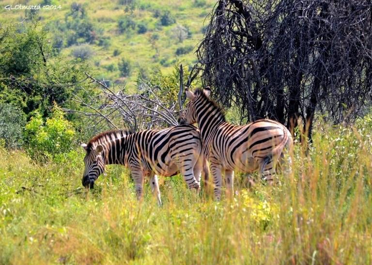 Zebras Pilanesberg Game Reserve South Africa