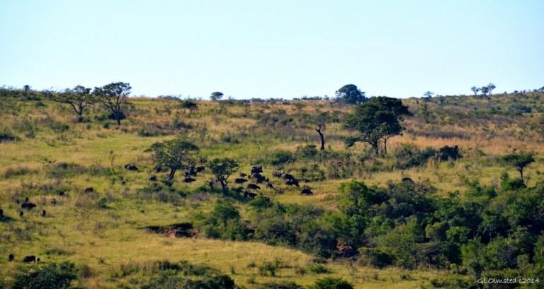 Buffalos Hluhluwe iMfolozi National Park South Africa