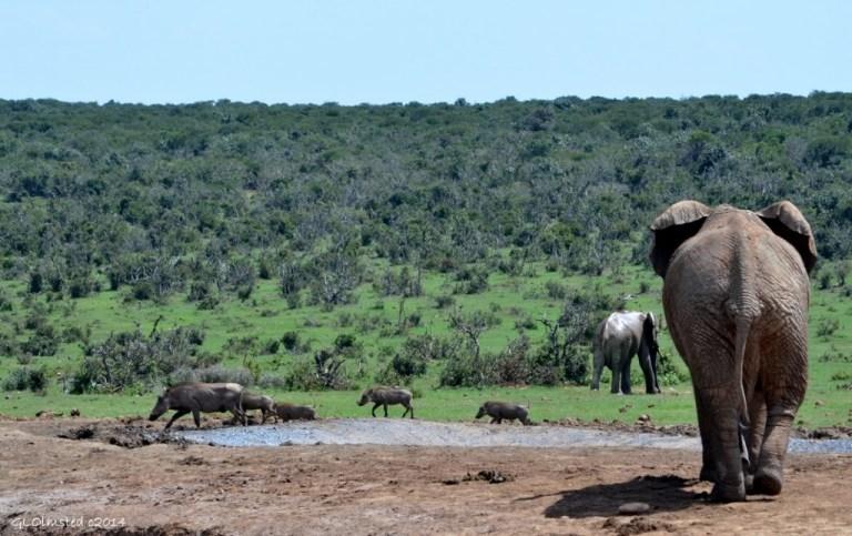 02 DSC_7778 Elephants & warthogs Addo Elephant NP SA fff63 (1024x644)