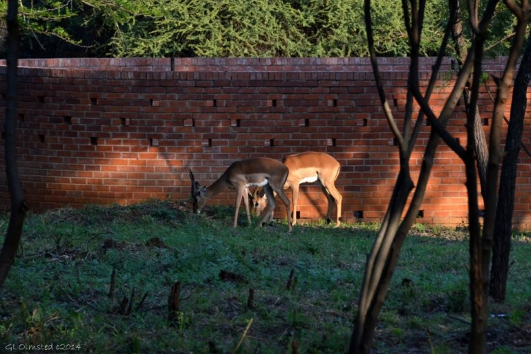 Impalas in camp Roodeplaat Dam South Africa