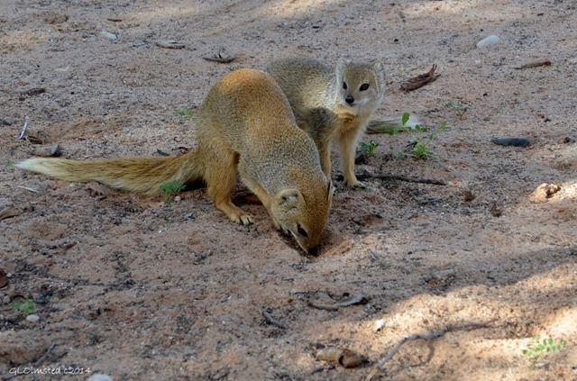 Yellow Mongoose in camp Kgalagadi Transfrontier Park South Africa