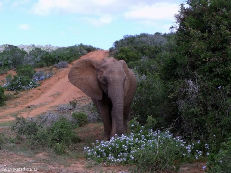 01 a3096 Elephant Addo Elephant NP Eastern Cape SA pic wp g (1024x768)