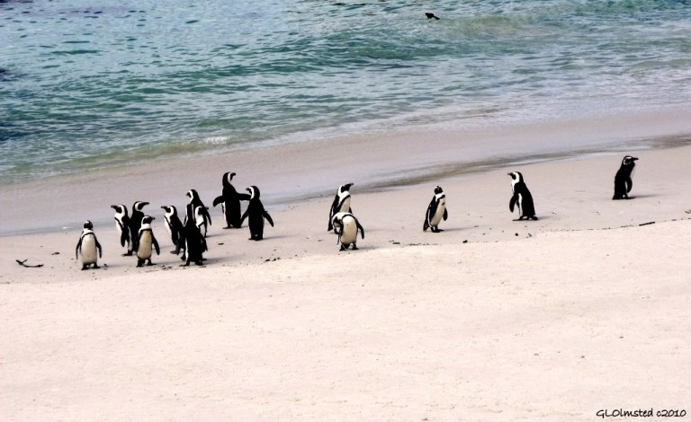 Penguins Boulders Table Mountain National Park Simon's Town Cape Peninsula South Africa
