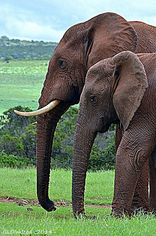 03 DSC_8233 Elephants Addo Elephant National Park SA fb g (530x800)