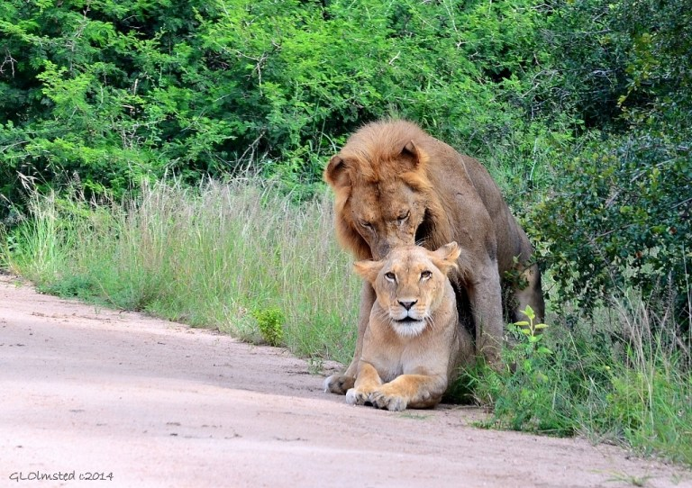 Lions mating Kruger National Park South Africa