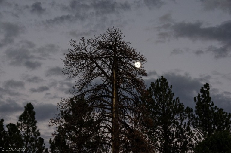Almost full moon behind the pines North Rim Grand Canyon National Park Arizona
