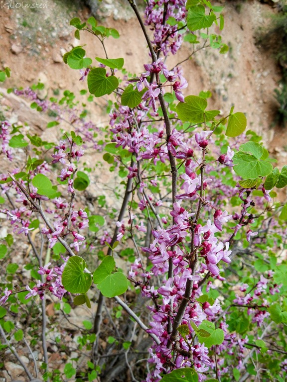 Western Redbud North Kaibab Trail Roaring Springs Canyon Grand Canyon National Park Arizona