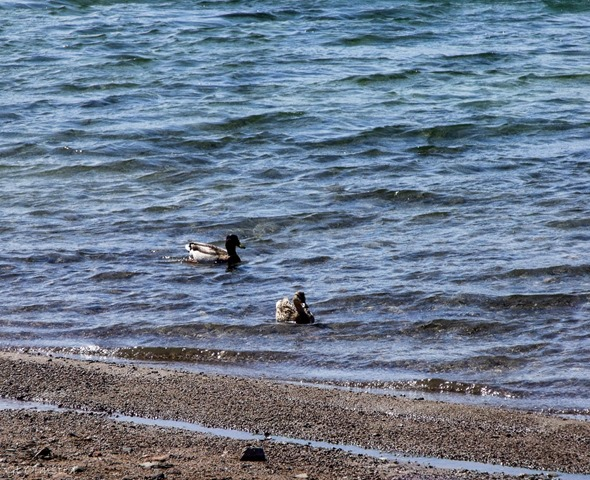 Two mallards in the river along Colorado River frontage road North of Bullhead City Arizona