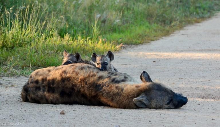 Hyenas Kruger NP SA
