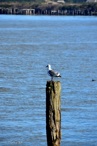 Seagull on Pier pole Coquille R Bandon Oregon