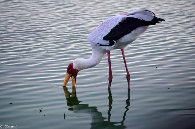Yellow-billed stork Sunset dam Kruger National Park South Africa