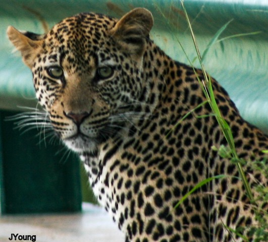 Leopard Kruger National Park South by JYoung
