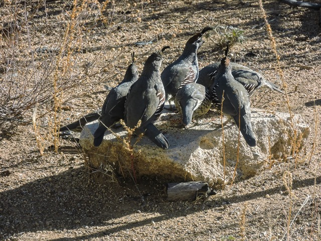 Gambel quail cluster for seed Yarnell Arizona