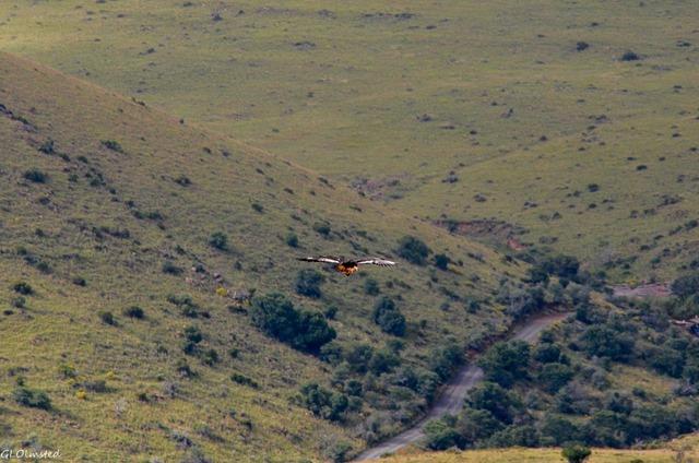 Hawk soaring Mountain Zebra National Park South Africa