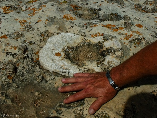 Hand by huge sponge fossil on rock outcrop off Transept trail North Rim Grand Canyon National Park Arizona