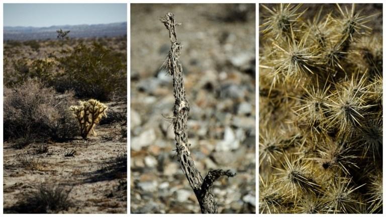 Cholla Anza-Borrego Desert State Park California
