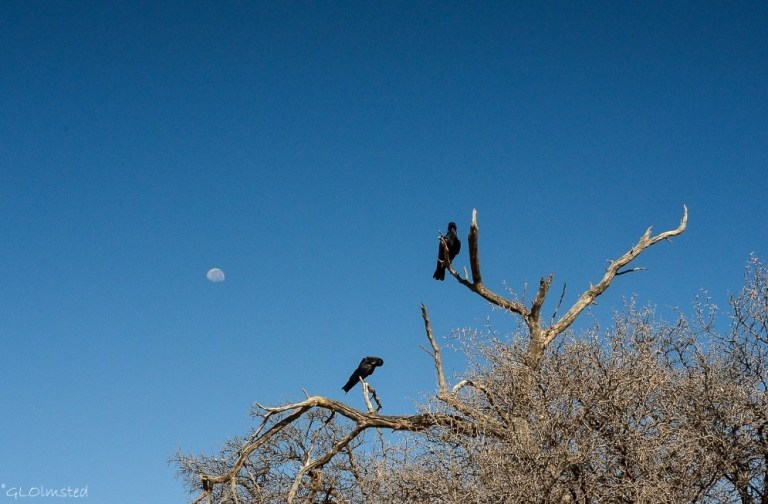 Crows & moon Kgalagadi Transfrontier Park South Africa