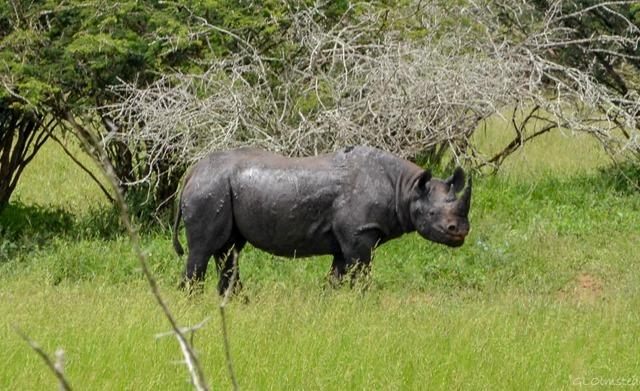 Black Rhino Kruger National Park South Africa
