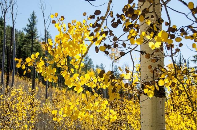 Light thru golden aspen leaves North Rim Grand Canyon National Park Arizona