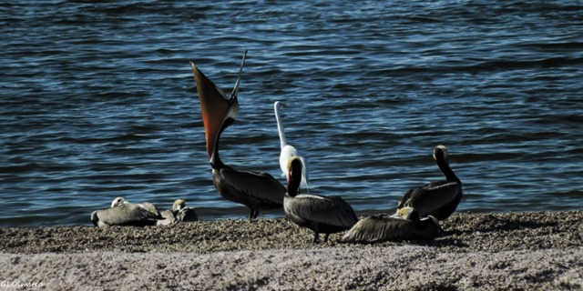 Gulls, Brown pelicans & Great egret Corvina Beach Salton Sea SRA California