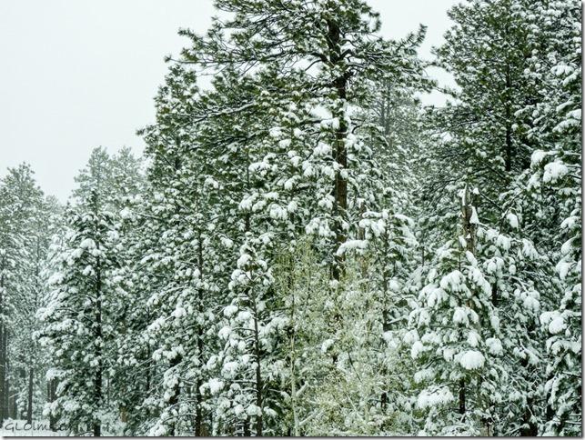 Snow on trees SR67 N Kaibab National Forest Arizona