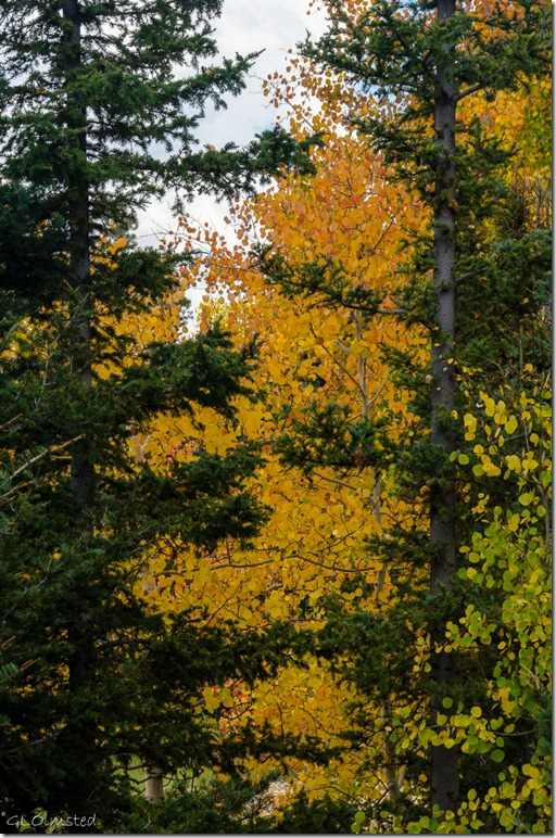 Golden aspen thru evergreens Kaibab National Forest Arizona