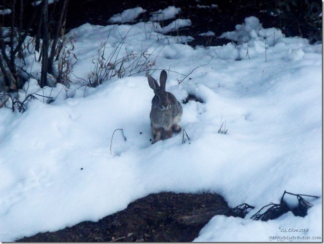 Bunny in snow Yarnell Arizona