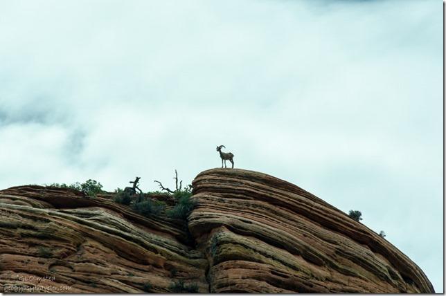 Big-horn sheep SR9 W Zion National Park Utah