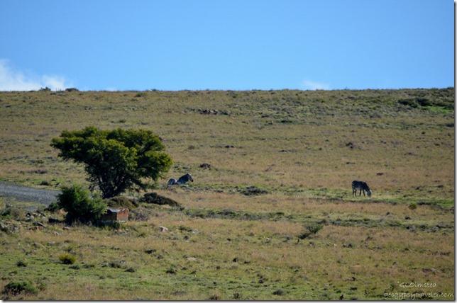 Mountain Zebras Mountain Zebra National Park Eastern Cape South Africa