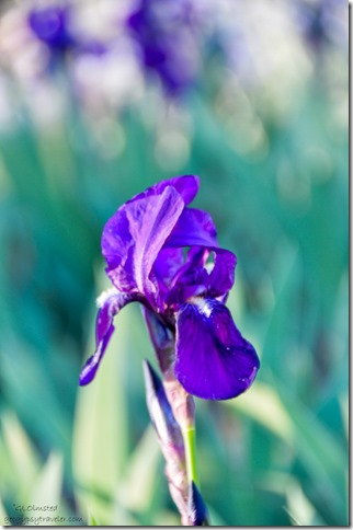 Iris Yarnell Arizona