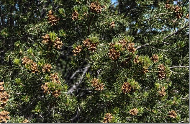 Pinyon Pine cones BLM Utah