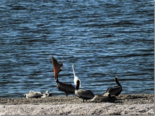 Gulls, brown pelicans & egret Corvina Beach Salton Sea Scenic Recreation Area California