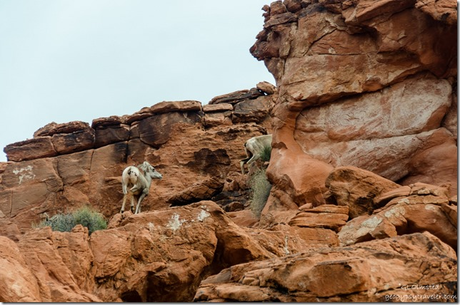 Desert big horn sheep Valley of Fire State Park Nevada