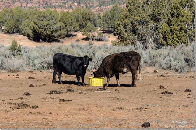Two cows BLM11 Utah