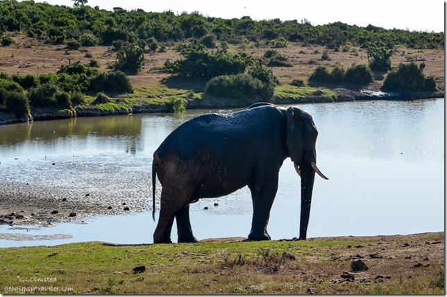 Elephant Addo Elephant National Park South Africa