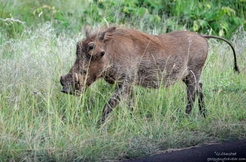 01 1716lerw Warthog Kruger NP SA fff160-2