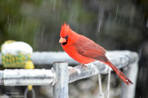 03 427lerw Cardinal in the snow Yarnell AZ fff160-2
