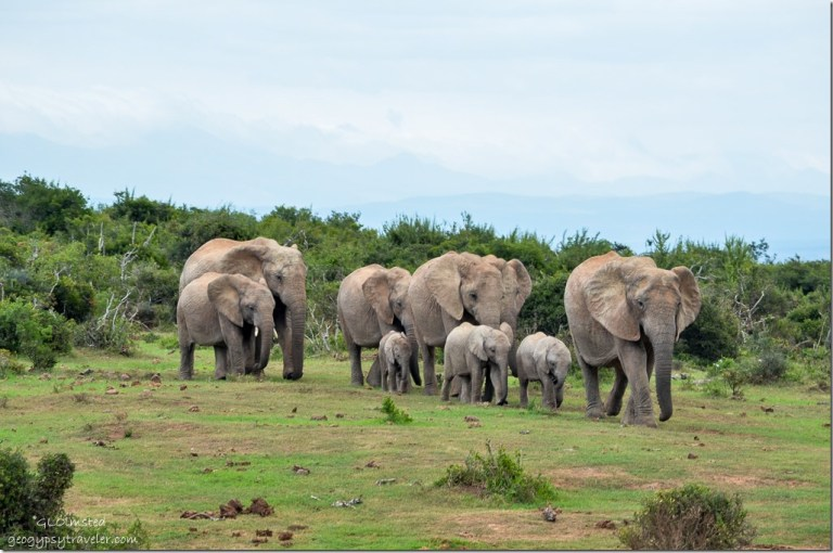 Elephants headed to the water Addo Elephant National Park South Africa