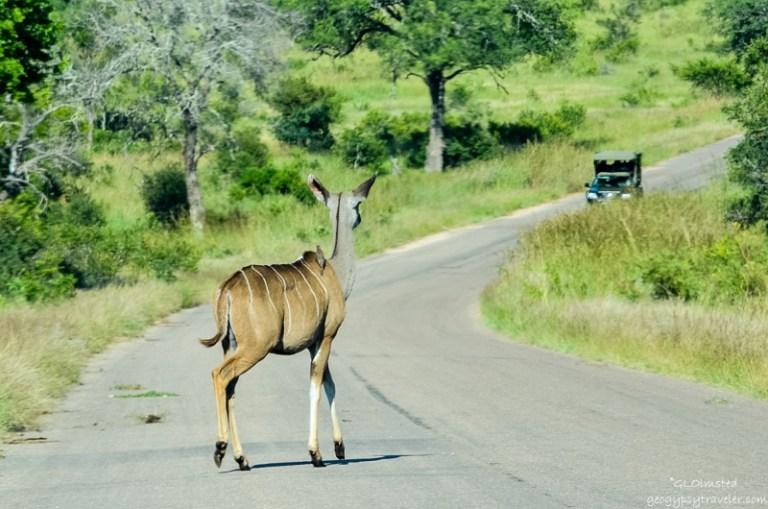 06s DSC_5202lerw Kudu Kruger NP SA fff164-2 (800x530)