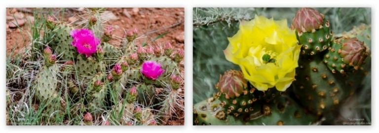 07 lerwcs Flowering Prickly Pear & Beavertail cactus Bunting trail Kanab UT collage (800x281)