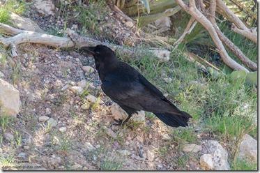 Raven Hermit's Rest South Rim Grand Canyon National Park Arizona